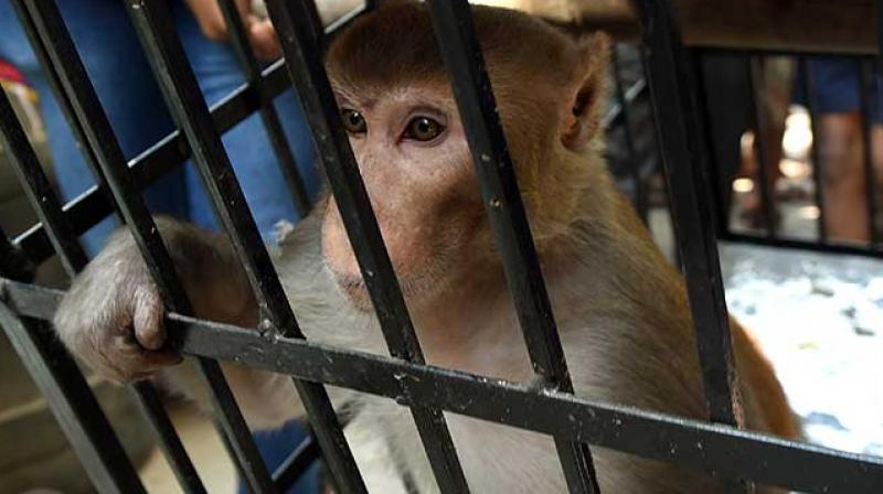 Mumbai: Monkey thief caught, 'handcuffed' and jailed